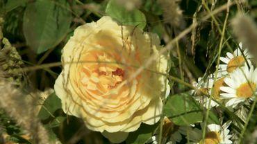 Rosa 'Golden Pleasure'
