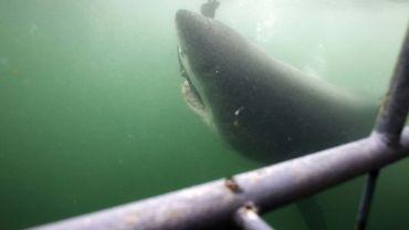 Un grand requin blanc à Gansbaii, dans le sud-ouest de l'Afrique du Sud, le 30 mars 2010