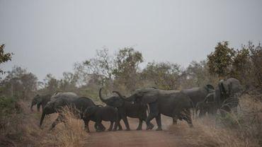 Un troupeau d'éléphants traverse une route dans le parc national de la Pendjari, au Bénin, près de Tanguiéta, le 10 janvier 2018
