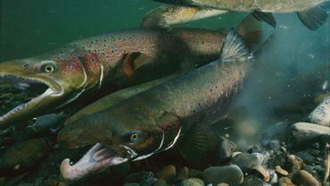 Ce poisson est une sorte de nouveau saumon de l'Atlantique auquel on a injecté un gène du saumon chinook du Pacifique afin qu'il grossisse plus vite.