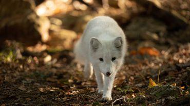 Trois renards polaires ont élu domicile au Parc animalier de Han-sur-Lesse.