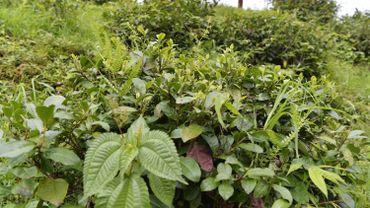 Une plantation de thé non entretenue