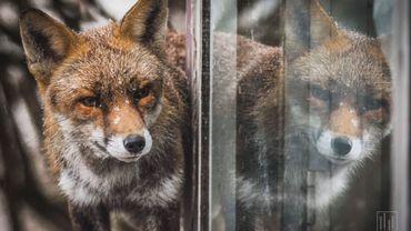 Les renards ne sont plus rares dans le centre de Bruxelles