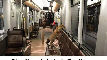 Un renard photographié dans le tram, à Uccle