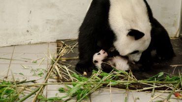 Pairi Daiza: maman panda et son petit bientôt visibles par le public