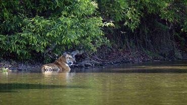 Plus de 2.300 tigres, victimes de trafic international, ont été saisis par les autorités depuis 2000.
