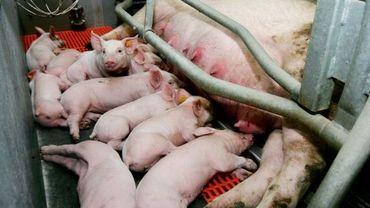 Illustration: un élevage de porcs