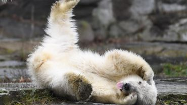Un ourson polaire présenté au public en mars 2019 au zoo berlinois de Tierpark