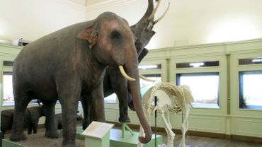 La balade de Carine : Un précieux éléphant au Musée des Sciences Naturelles de Tournai.