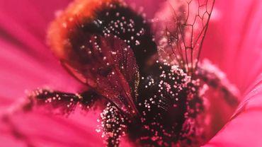 Abeilles et bourdons, des pollinisateurs menacés