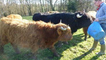 Les Saveurs de Chez Nous - L'élevage de Highland à Bilstain