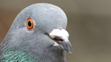 Le pigeon le plus cher du monde est belge et il vaut... un demi-million d'euros!