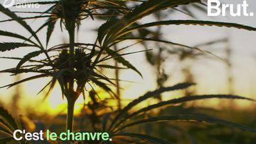 Isolation, alimentation, textile… Le chanvre, une plante aux fonctions stupéfiantes