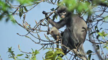 Popa Langur : un singe à peine découvert et déjà en danger avec 260 individus restants