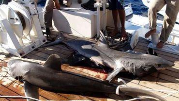Pêche au requin