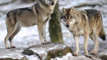 Présence du loup en Wallonie: quatre indices jugés crédibles depuis octobre