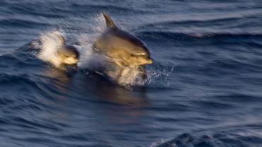 Pendant le confinement des dauphins ont été aperçus près des calanques de Cassis.