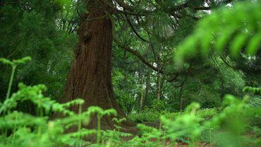 Huit mètres et demi de circonférence et 33 mètres de haut, ce sont les mensurations impressionnantes du  Sequoia Géant que l'on peut admirer au parc de Woluwe à Woluwe-Saint-Pierre.