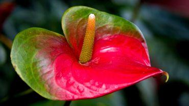 Plante d'intérieur du mois: l'anthurium