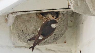 Des hirondelles dans leur nid.