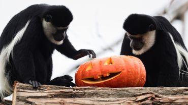 Colobes guéréza examinant une citrouille d'Halloween au parc Pairi Daiza de Cambron-Casteau, le 30 octobre 2020