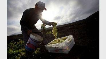 Un homme récolte des grappes de raisin près du village de la Geria, aux Canaries, le 25 août 2011