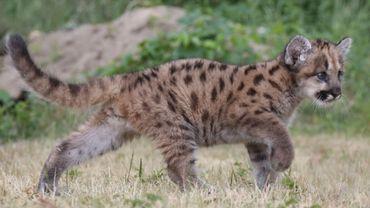 Illustration: un cougar proche des habitations à Courcelles ?