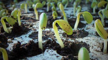 jeunes plants soja