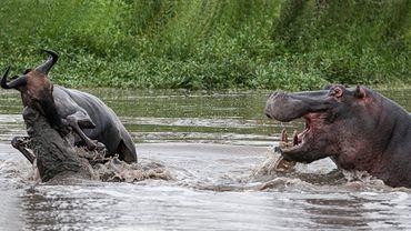 Des hippopotames sauvent un gnou des crocodiles