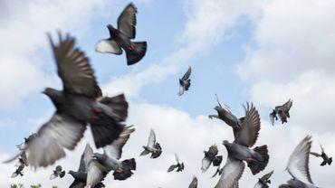 Colombophilie: pigeons et convoyeurs attendent