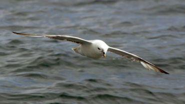 95% des pétrels fulmars retrouvés morts sur les plages danoises ont du plastique dans l'estomac