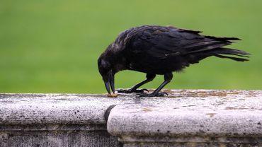 Les corbeaux ramasseurs de mégots