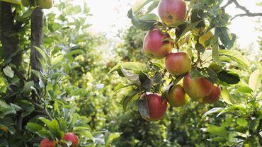 C'est la fête de la Pomme ce weekend du 24 et 25 octobre dans les jardineries wallonnes