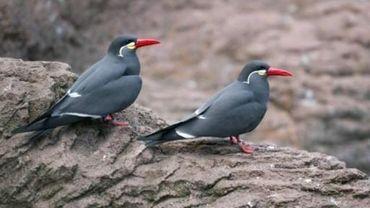 Ces oiseaux se nourrissent de petits poissons