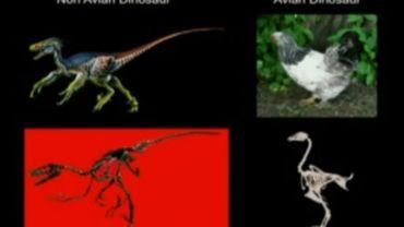"""Le poulet-dino: un premier pas vers un vrai """"Jurassic World""""?"""
