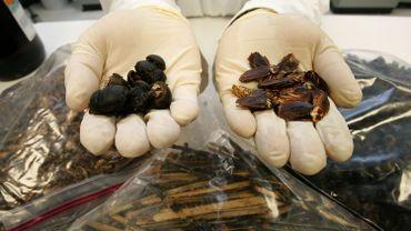 Des scarabées vivants téléguidés pour localiser les survivants pendant les séismes
