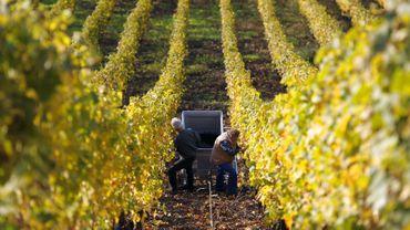 Les vignes belges ont souffert d'une météo humide, venteuse et froide.
