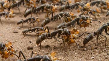 Certaines fourmis produisent naturellement des substances capables de détruire des germes.
