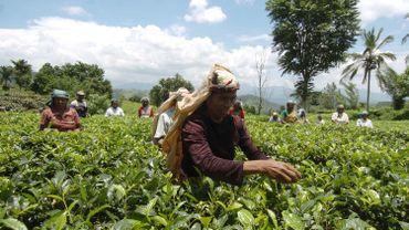 Une plantation de thé au Sri Lanka