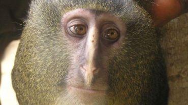 Le Lesula, une nouvelle espèce de singe découverte en RDC