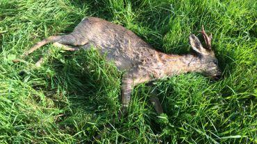 Quatre chevreuils sont morts très tôt ce matin entre Geer et Berloz, percutés par un ou plusieurs véhicules.