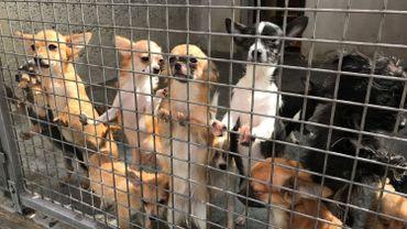 Chihuahuas et bichons saisis à Courcelles