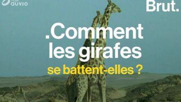Comment se battent les girafes ?