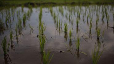 L'arsenic se retrouve aussi dans notre alimentation et notamment dans le riz.