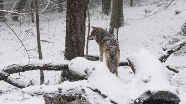 La Norvège abattra moins de loups que prévus