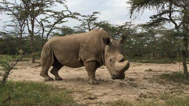 Sudan, le dernier rhinocéros blanc du Nord, est mort en mars dernier au Kenya