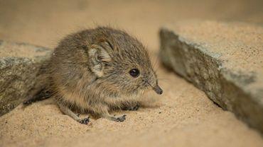Il fait la taille d'un rat et est génétiquement...un cousin de l'éléphant