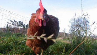 Une zone tampon temporaire d'un rayon de trois kilomètres a été délimitée à Couvin, au sein de laquelle les déplacements de volailles, autres oiseaux captifs et œufs à couver sont interdits.