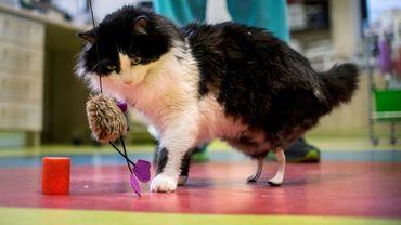 Pooh, jeune chat d'un an à qui l'on a greffé deux pattes artificielles, s'amuse avec un jouet, le 26 janvier 2017 à Sofia, en Bulgarie