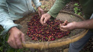 Récolte de café arabica au Brésil